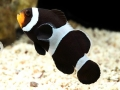 Amphiprion ocellaris variation - black