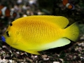 Apolemichthys trimaculatus / Flagfin angel, S