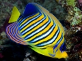 Pygoplites diacanthus/ Regal Angelfish