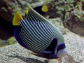 Pomacanthus imperator, adult XL/ Emperor Angelfish