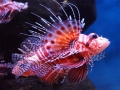 Pterois mombasae, L