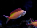 Pseudanthias dispar/ Dispar Anthias